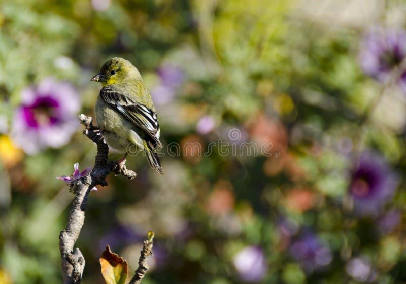 Flores del Goldfinch fotos de archivo libres de regalías