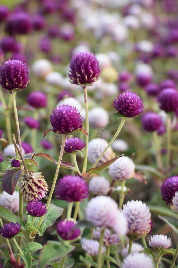 Flores del Gomphrena fotografía de archivo