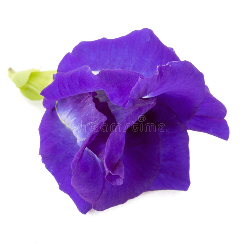 Flores del guisante azul aisladas en el fondo blanco imagenes de archivo