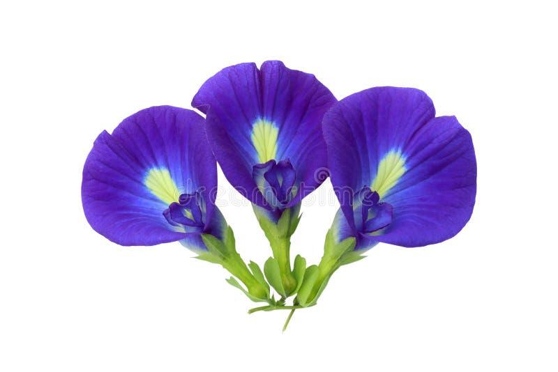 Flores del guisante azul en blanco imágenes de archivo libres de regalías