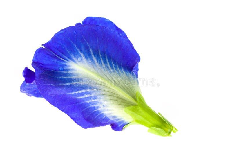 Flores del guisante azul en el fondo blanco imágenes de archivo libres de regalías