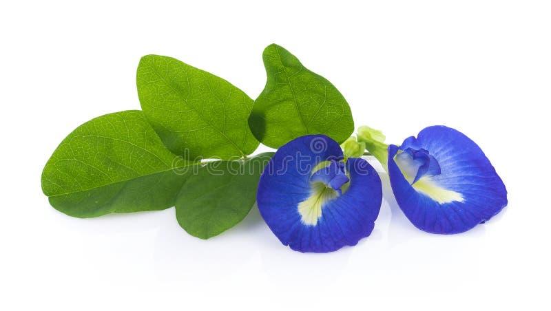Flores del guisante azul en el fondo blanco imagenes de archivo