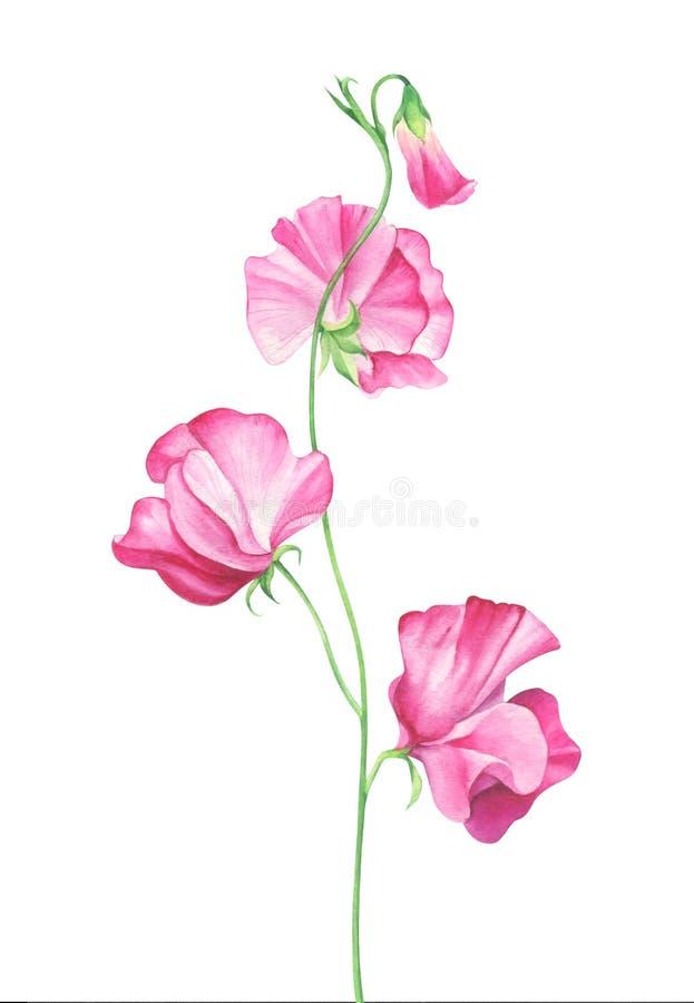 Flores del guisante de olor de la acuarela en el fondo blanco stock de ilustración