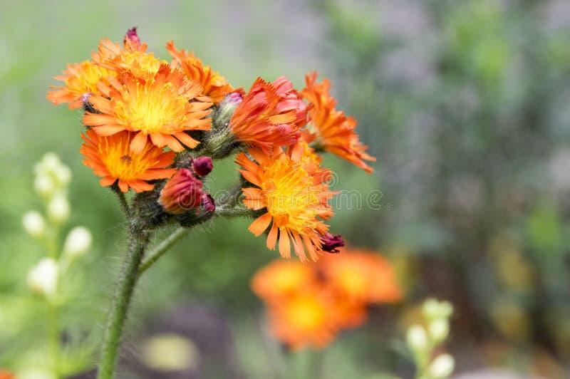 Flores del Hawkweed anaranjado en la floración foto de archivo libre de regalías