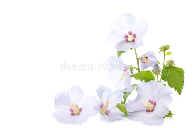 Flores del hibisco foto de archivo