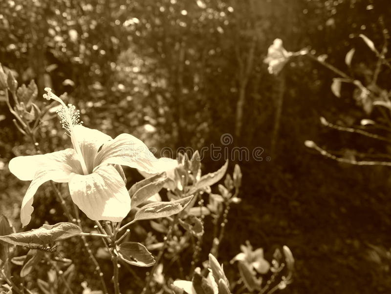 Flores del hibisco en el jardín imágenes de archivo libres de regalías