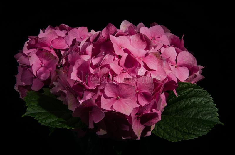 Flores del Hortensia aisladas en un fondo negro imagen de archivo libre de regalías