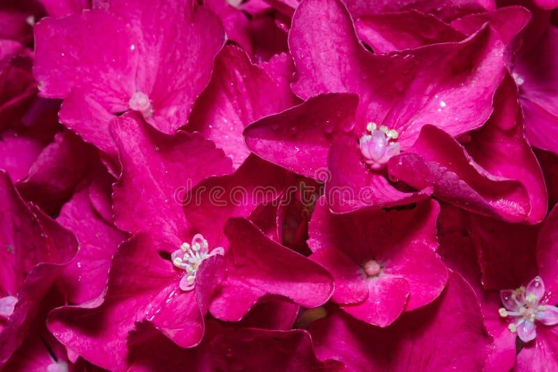 Flores del Hortensia (hortensia) imágenes de archivo libres de regalías