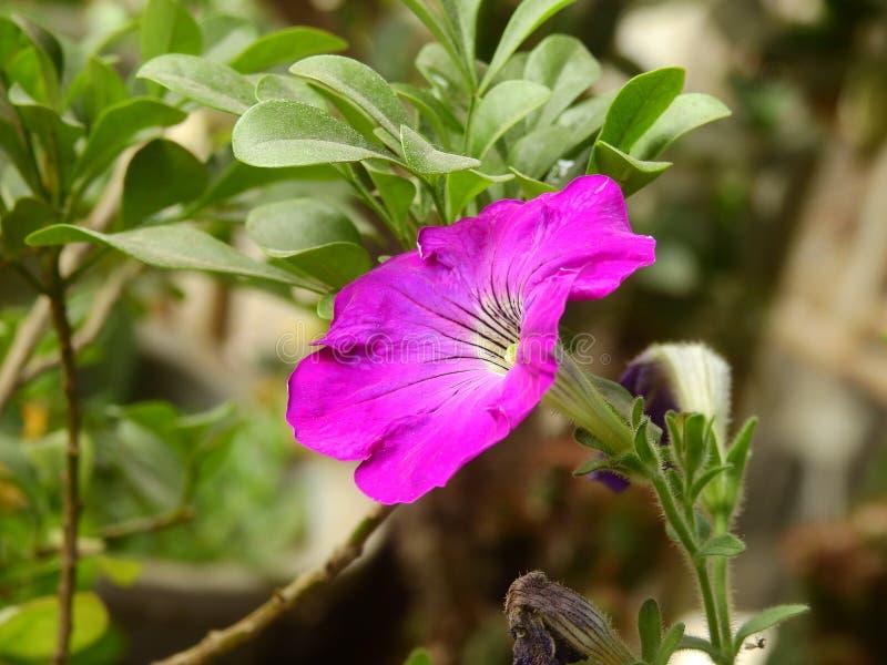 Flores del hybrida de la petunia foto de archivo