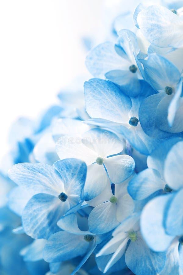 Flores del Hydrangea foto de archivo libre de regalías