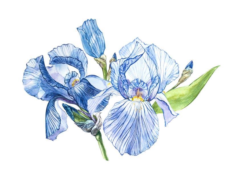 Flores del iris Ejemplo botánico dibujado mano de la acuarela de las flores aisladas en un fondo blanco stock de ilustración