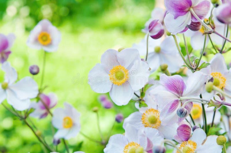 Flores del japonica de la anémona, encendidas por la luz del sol fotografía de archivo libre de regalías