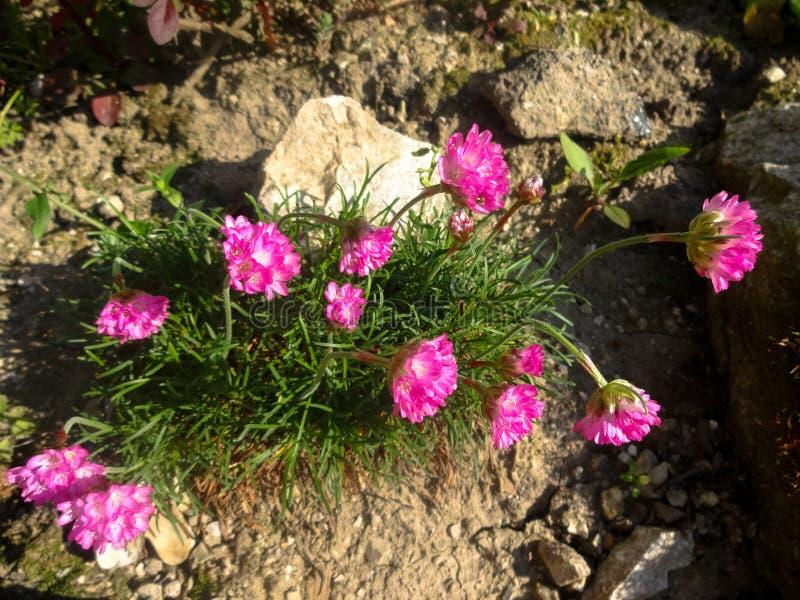 Flores del jardín de rocalla fotografía de archivo
