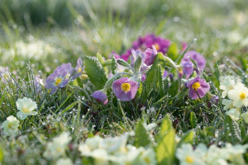 Flores del jardín y descensos de rocío de la mañana imágenes de archivo libres de regalías