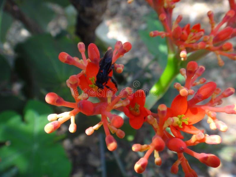 Flores del Jatropha con el insecto fotos de archivo libres de regalías