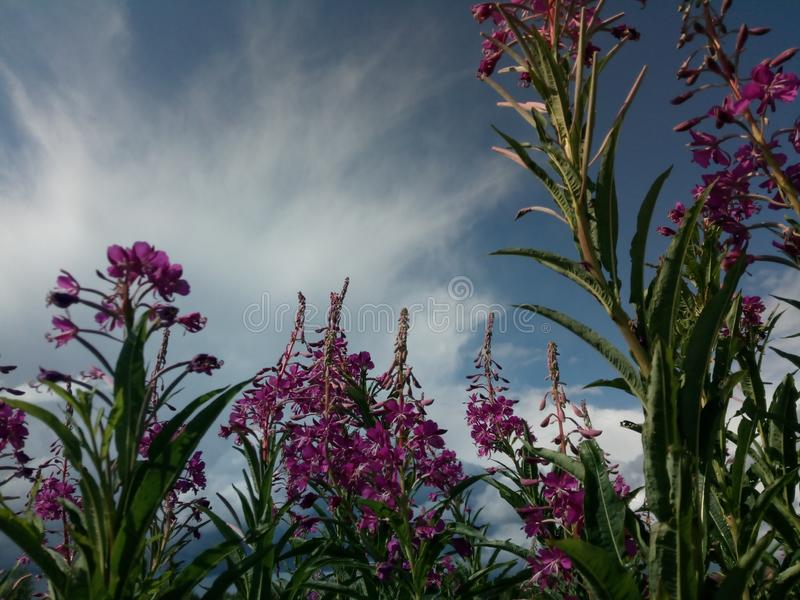 Flores del laurel de San Antonio contra un cielo nublado Cosecha de infusión de hierbas Espacio para el texto foto de archivo libre de regalías