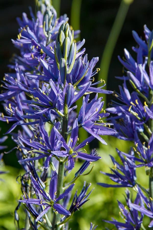 Flores del leichtlinii Camas grande del Camassia imagen de archivo