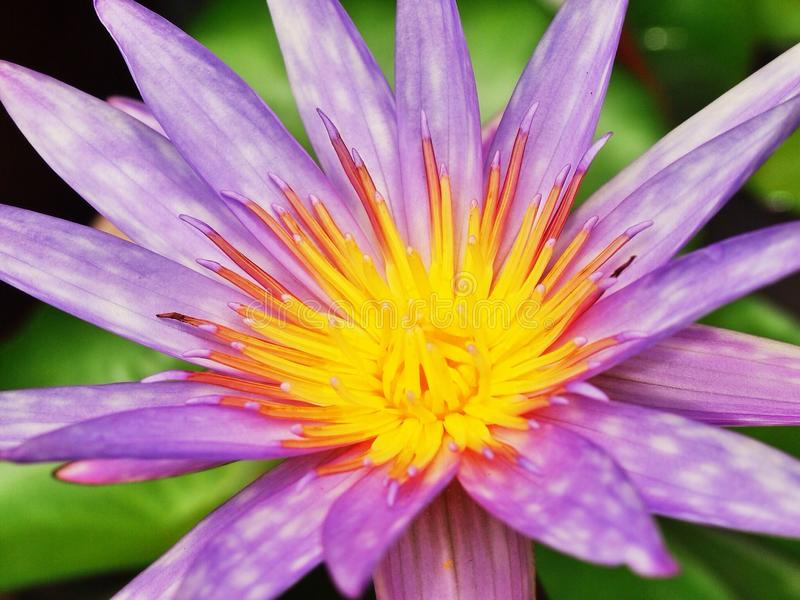 Flores del lirio de agua imagen de archivo libre de regalías