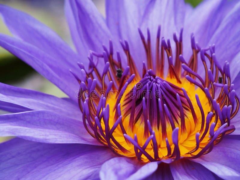 Flores del lirio de agua foto de archivo