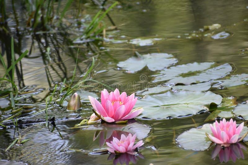 Flores del lirio de agua tres en el agua fotos de archivo libres de regalías