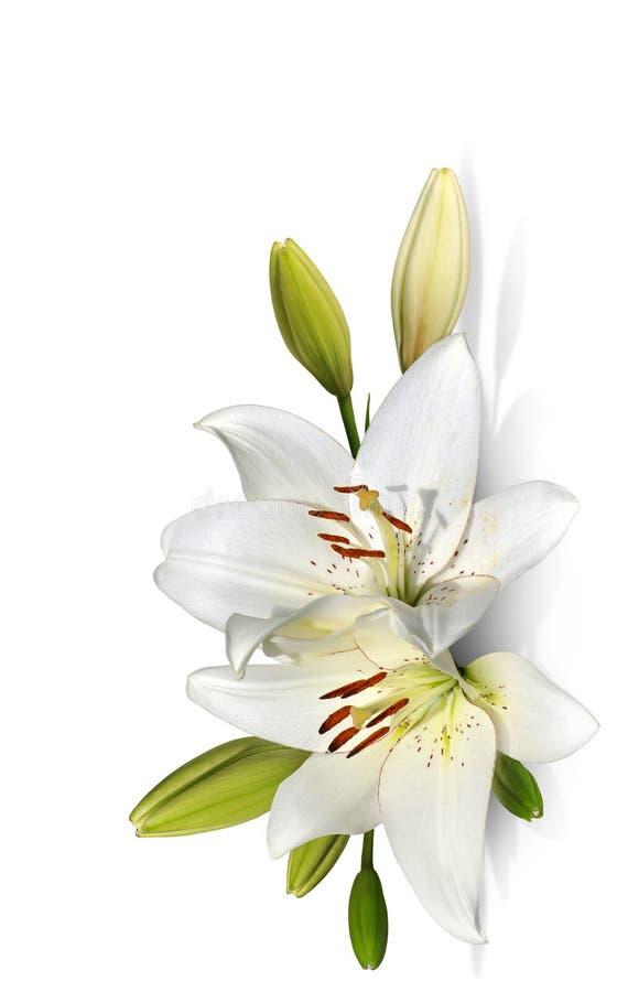 Flores del lirio de pascua en el fondo blanco fotos de archivo libres de regalías