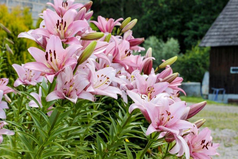 Download Flores Del Lirio En El Jardín Imagen de archivo - Imagen de hermoso, floración: 42446253