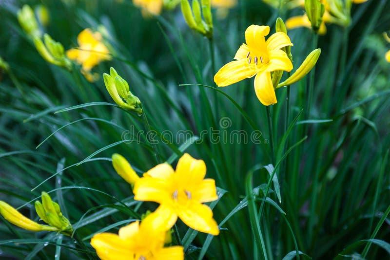 Flores del lirio y brotes amarillos florecientes del lirio imágenes de archivo libres de regalías