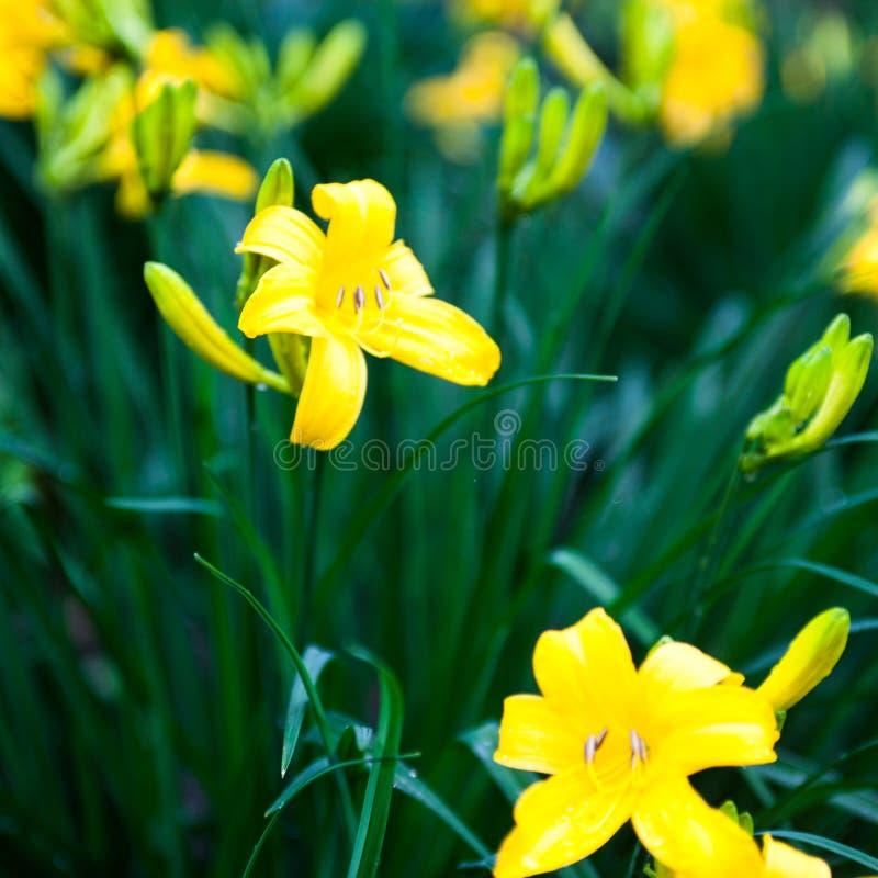 Flores del lirio y brotes amarillos florecientes del lirio imagenes de archivo