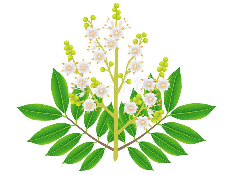 Flores del Longan con las hojas aisladas en el fondo blanco stock de ilustración
