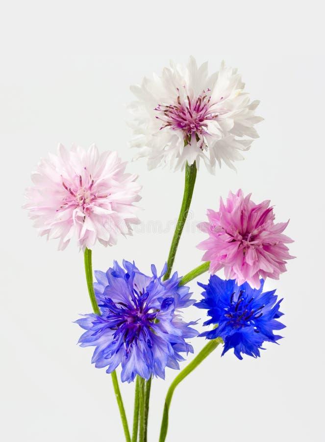 flores del maíz imagen de archivo libre de regalías