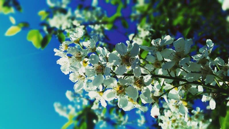 Flores del manzano fotos de archivo