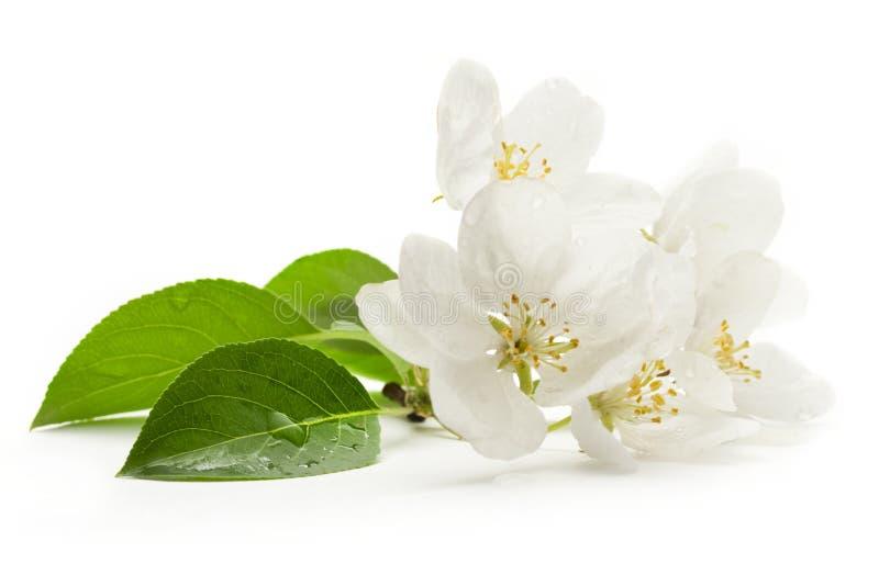 Flores del manzano fotografía de archivo