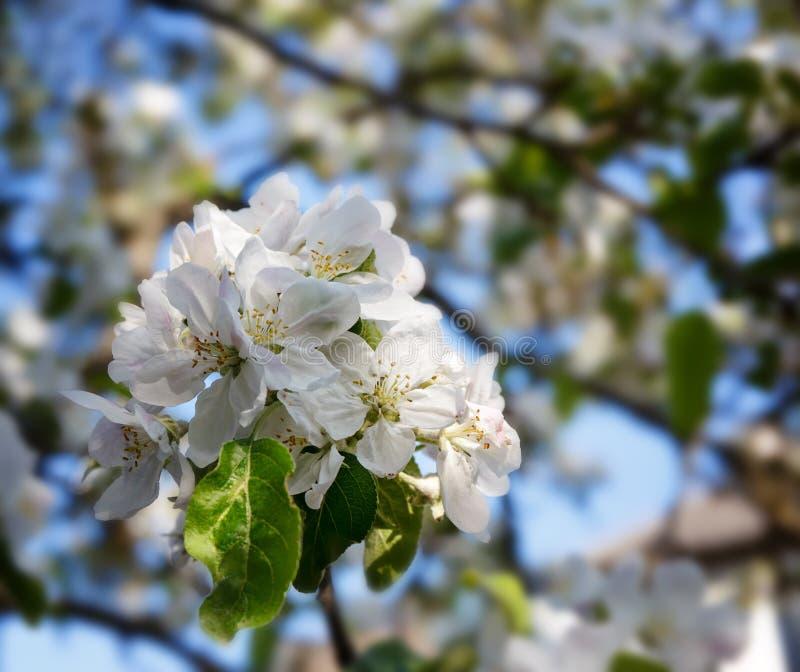 Flores del manzano en el jardín fotos de archivo libres de regalías