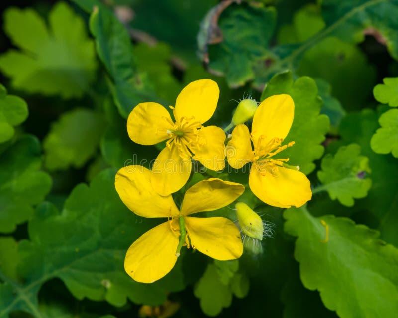 Flores del mayor celandine o del tetterwort, majus del Chelidonium, macro, foco selectivo, DOF bajo imagen de archivo