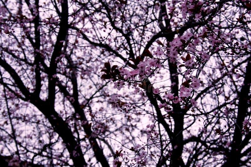 Download Flores del melocotón imagen de archivo. Imagen de ornamental - 1298299