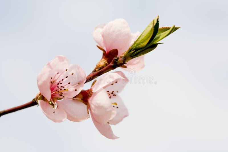 Flores del melocotón foto de archivo