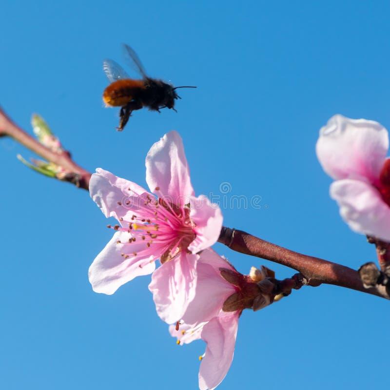 Flores del melocotón contra el cielo azul con la abeja del vuelo imagen de archivo libre de regalías