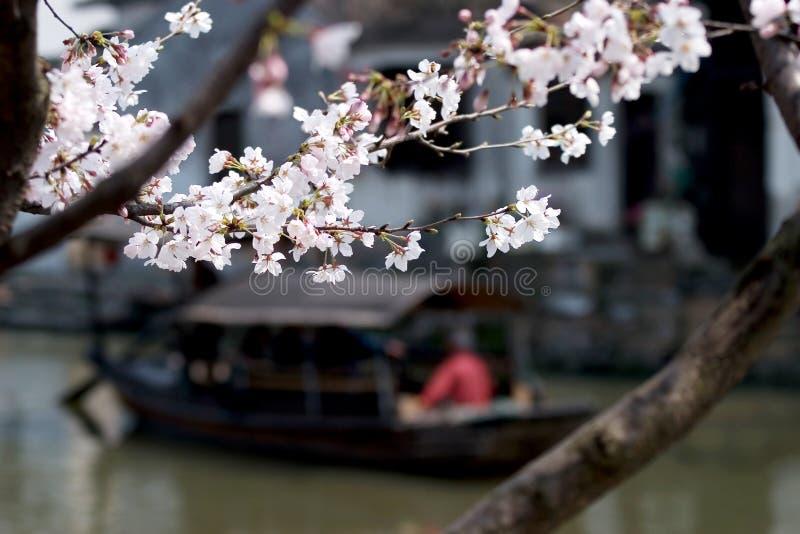 Flores del melocotón de Xitang imagen de archivo libre de regalías