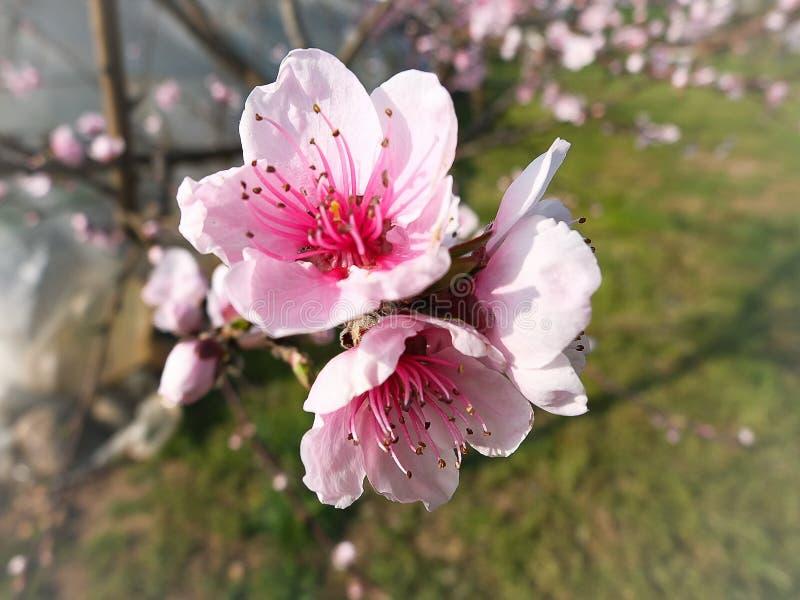 Flores del melocotón en primavera fotos de archivo