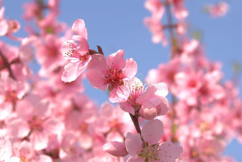 Flores del melocotón en resorte imagenes de archivo