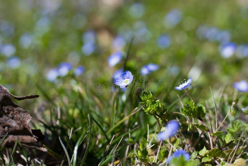 Flores del Myosotis foto de archivo