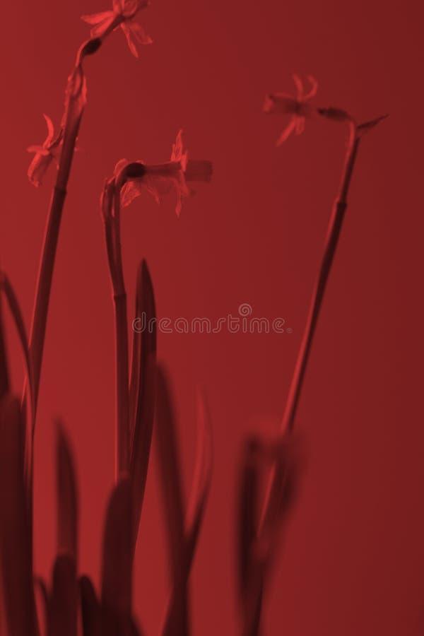 flores del narciso con un alto tronco en colores y duotone falsos Imágenes muy coloridas para los temas del fondo, florales y de  fotos de archivo libres de regalías