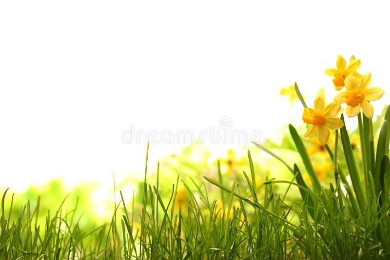 Flores del narciso en prado imagen de archivo