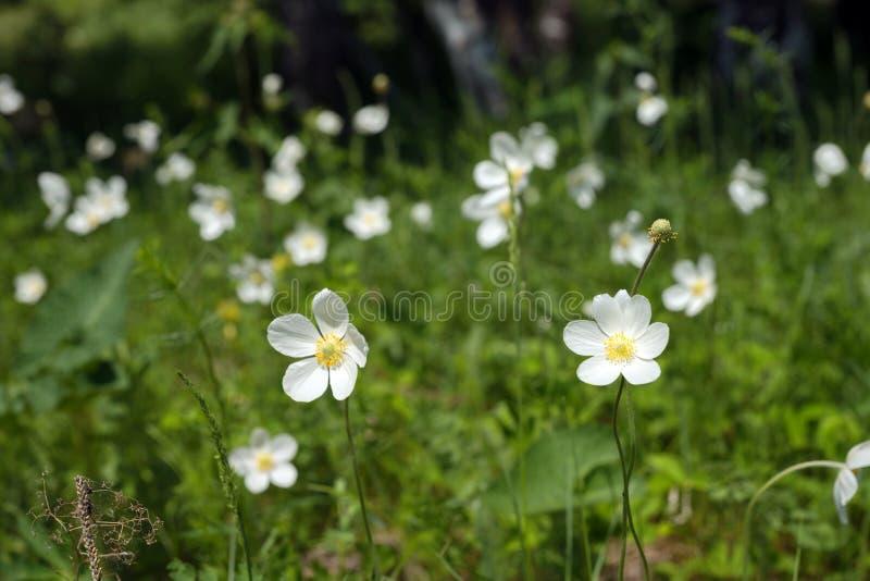 Flores del nemorosa blanco de la anémona de las anémonas crecer en prado del sammer imágenes de archivo libres de regalías