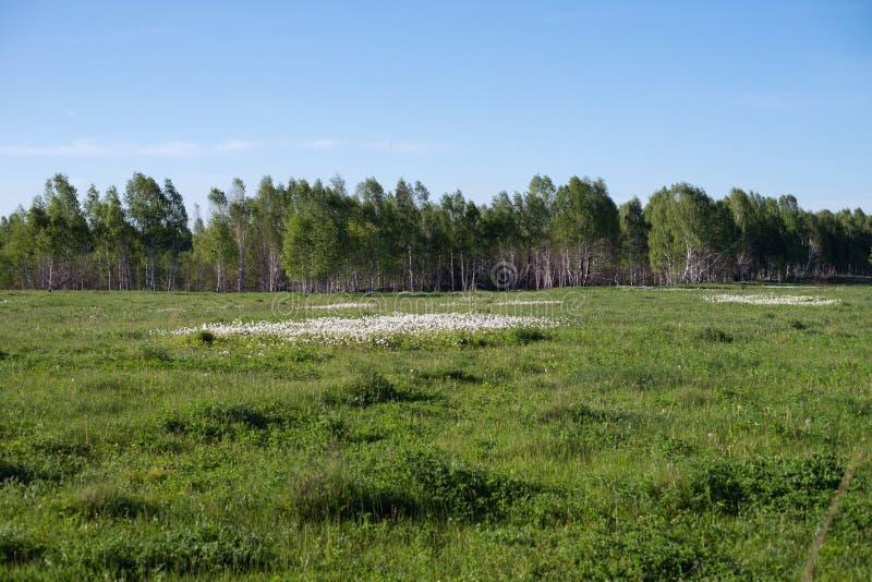 Flores del nemorosa blanco de la anémona de las anémonas crecer en prado del sammer en el fondo del bosque foto de archivo
