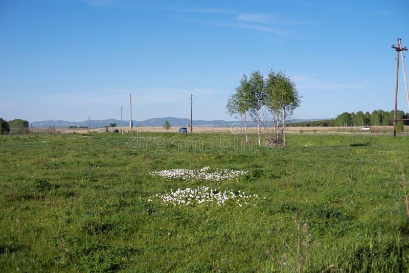Flores del nemorosa blanco de la anémona de las anémonas crecer en prado del sammer en el fondo del camino foto de archivo libre de regalías