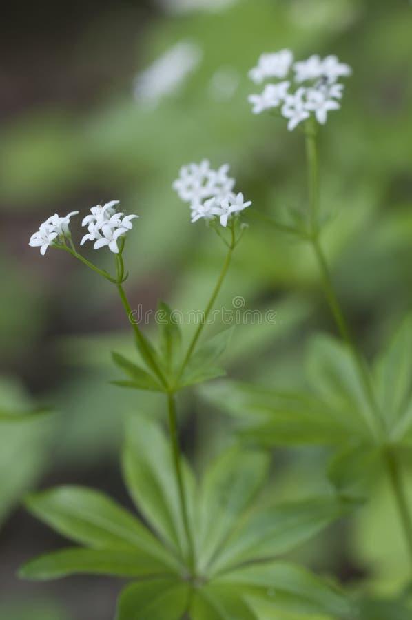 Flores del odoratum del galio fotos de archivo libres de regalías
