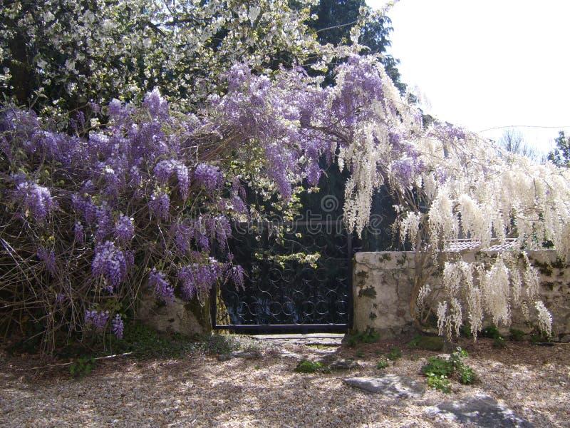 Flores del púrpura y blancas de la glicinia con la puerta fotografía de archivo