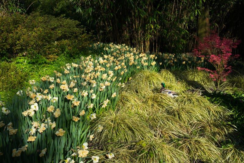 Flores del pato y de la primavera fotografía de archivo