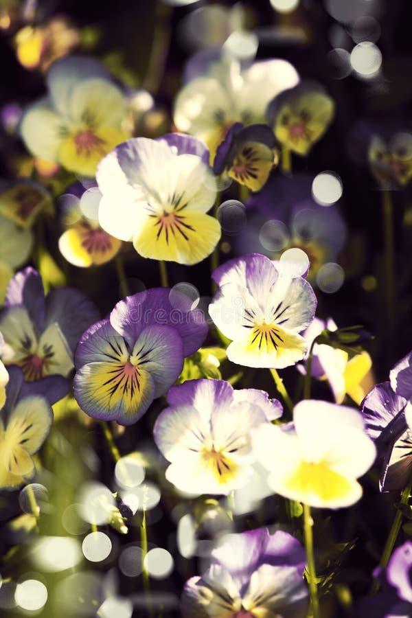 Flores del pensamiento imagen de archivo